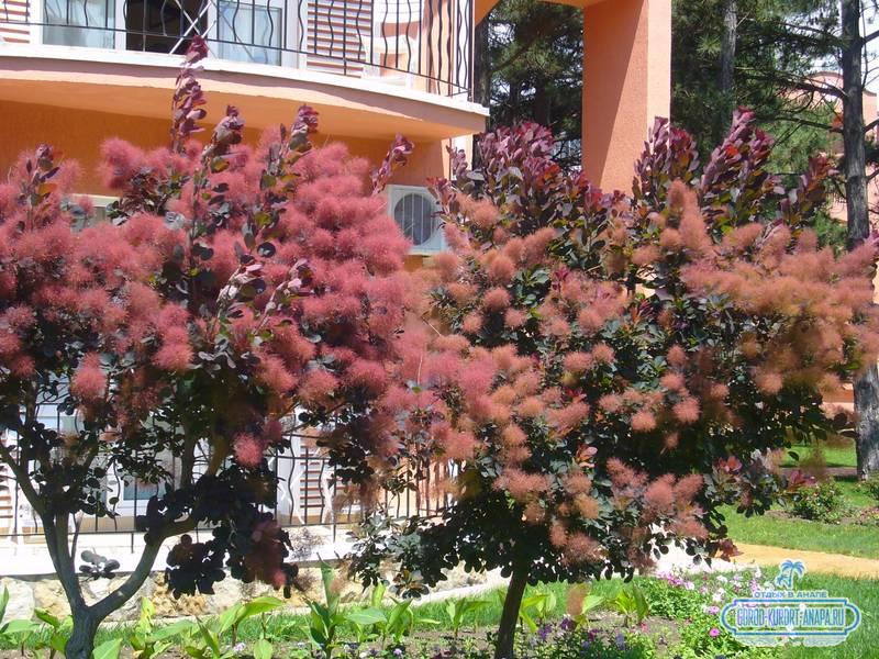 Отель «Ривьера» Анапа - вот такое красивое дерево