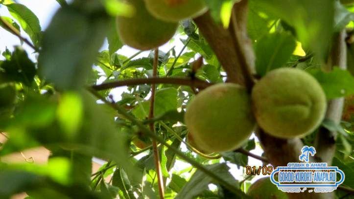 еще зеленый персик